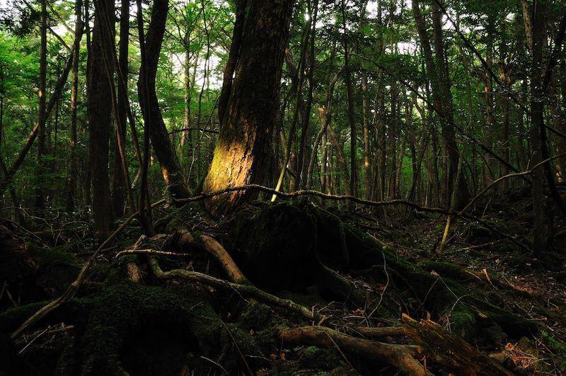 Aokigahara_Wald